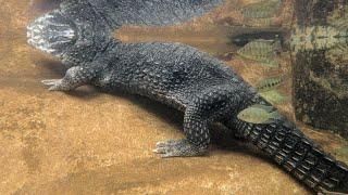 Sumpfkrokodil * Marsh Crocodile