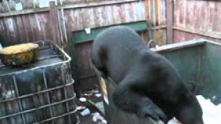 Old Forge (NY) United States  city images : THE BLACK BEAR ATTACK IN OLD FORGE NY