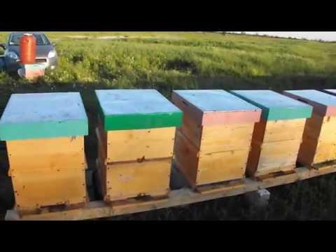 salcam - dupa o saptamana de pastoral la salcam unde familiile de albine au stagnat in loc sa creasca,au fost aduse acasa si stimulate cu sirop pentru a putea finaliz...