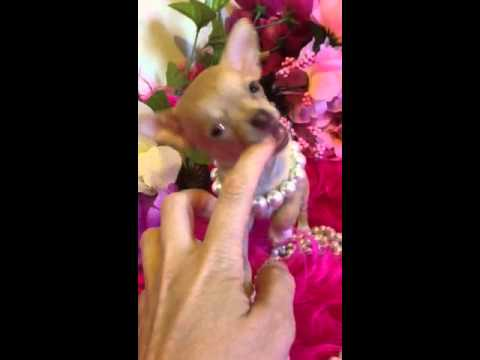 Micro teacup chihuahua puppy for sale , sugar with green ey
