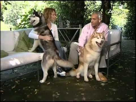 syberian husky - tutto ciò che c'è da sapere su questo cane!