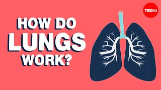 How do the lungs work?