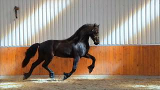 Sep 2, 2015 ... Running free video of Marrijn. FRIESIAN HORSE STABLES FRYSK-ANDALUZ. nSubscribeSubscribedUnsubscribe 8989. Loading... Loading.