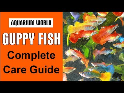 Guppy Fish Complete Care Guide