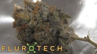 King Tut Testing Tuesday Sponsored by Flurotech by Urban Grower