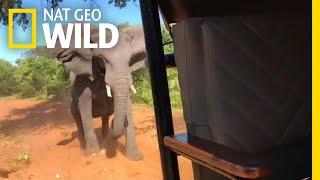 Elephant Rams Safari Vehicle, Breaks Tusk | Nat Geo Wild by Nat Geo WILD