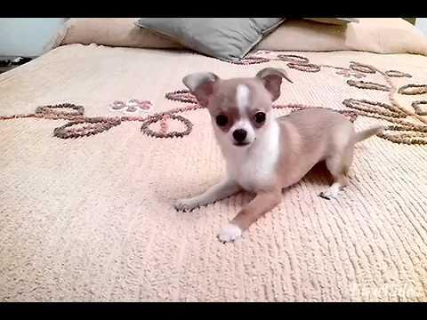 Vendita chihuahua mini con il pedigree
