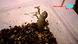 VIDEO DNE: Líhnutí malého chameleonka! NÁDHERA