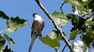 Video Kis őrgébics (Lanius minor) Lesser Grey Shrike MP3, 3GP, MP4, WEBM, AVI, FLV Agustus 2018