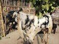 Download Lagu 104তোতাপুরি ছাগলের দাম জানুন। Learn the price of Totapuri goat. Mp3 Free