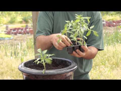 Cómo transplantar el tomate en taco y cómo sembrar trébol//Balcón comestible//LlevamealhuertoTv