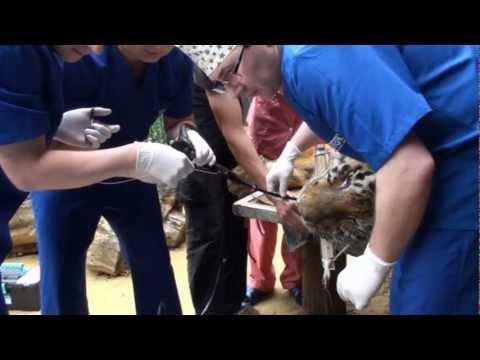 Амурский тигр. Гастроскопия.