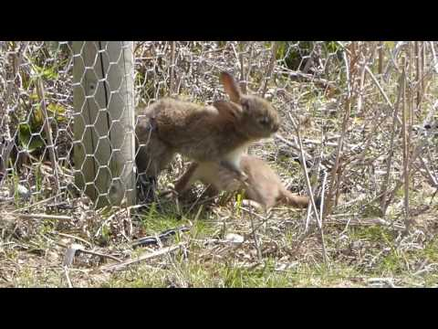 Persistent Stoat trying to pull a rabbit through a wire fence - not suitable for children