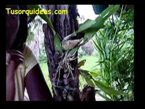 Cuidado de orquideas. Como salvar a una orquidea estresada