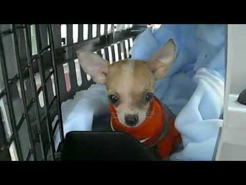 Venta de Autentico Chihuahua de Bolsillo (Mini Toy) – 9 años como Criadores Lideres