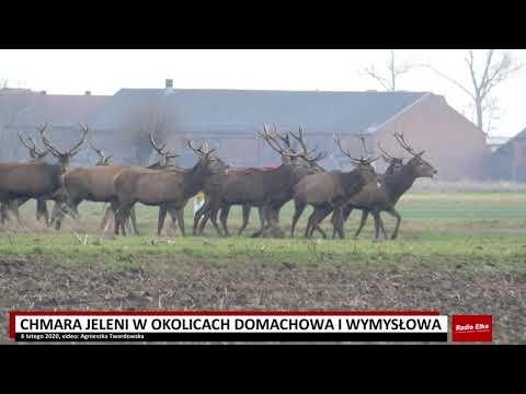Wideo1: Uwaga na chmarę jeleni w okolicach Domachowa i Wymysłowa