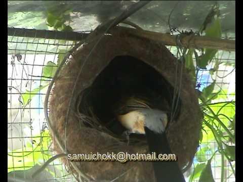 นกกางเขนดงCopsychus malabaricus (white-rumped shama).avi