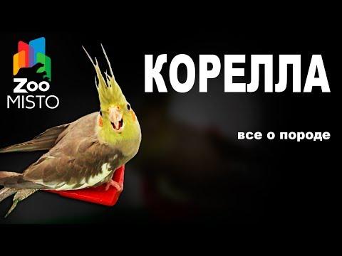 Корелла - Все о породе попугаев