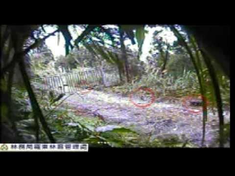 珍貴稀有保育類野生動物-棕簑貓漫步和平林道