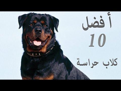 Video أفضل  كلاب الحراسة التى تصلح للتربية download in MP3, 3GP, MP4, WEBM, AVI, FLV January 2017