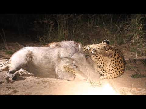 Video Leopard on the hunt kills warthog download in MP3, 3GP, MP4, WEBM, AVI, FLV January 2017