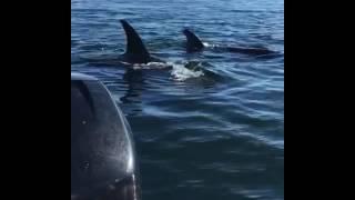 فقمة تهرب من الحيتان القاتلة بالقفز على قارب عائلى