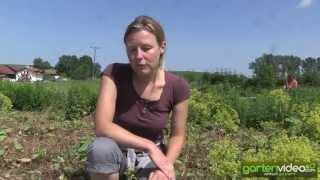 #1238 Grosse Sortenvielfalt bei Frauenmantel (Alchemilla)