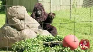Gorilla Plays Ball With a Little Kid