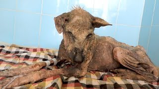 We got a call to rescue a street dog who was suffering from severe mange and dehydration. She was unable to stand when we...
