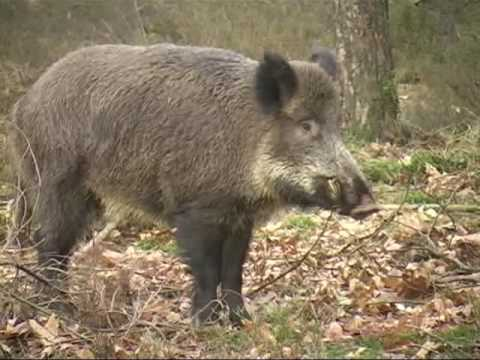 keiler - Kapitale Keiler/ Great Wild Boar. Heel soms kom je ze nog tegen, de kapitale keilers. Meestal wordt een keiler op de Veluwe niet ouder dan 5 jaar vanwege afs...