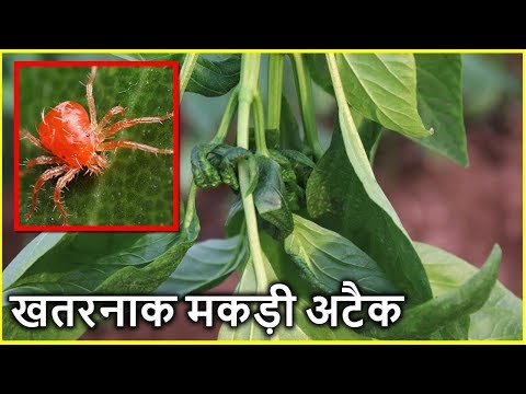 माइट रोग का कहर | Mites Attack and Control all Information in Hindi