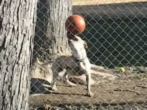 Dog is juggling the ball - Amazing video