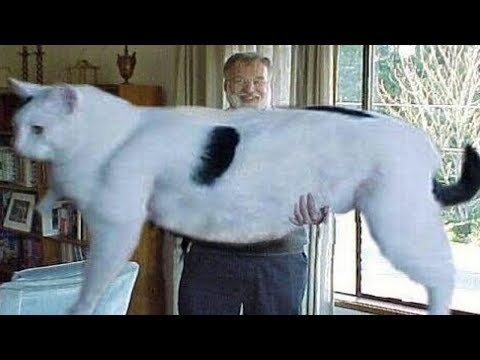 5 Abnormally Large Cats In The World