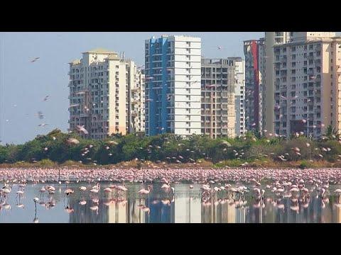 Ινδία: Τα φλαμίνγκο κατακλύζουν το Μουμπάι