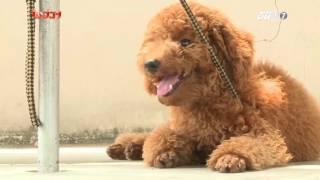 Kỳ 3 : Giới thiệu về giống Poodle - Thú Cưng TV