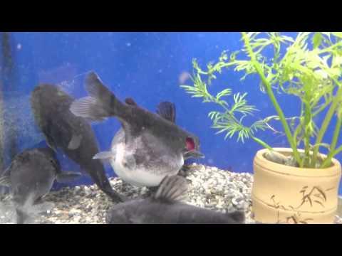 金色的魚原本平安地住在魚缸裡,沒想到一隻鯰魚游過來後…誇張到爆的一幕上演了!