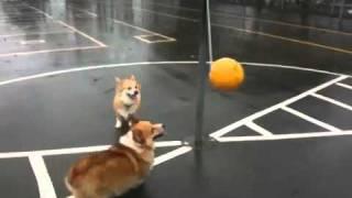 Собачий тетербол