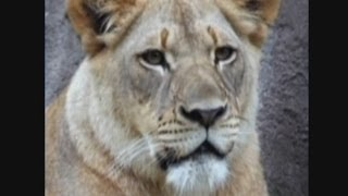 Lion attacks and kills lioness in unprovoked attack at Dallas Zoo, Texas
