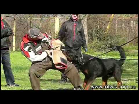 Accoppiamento rottweiler maschio per accoppiamento pedigree eccellente