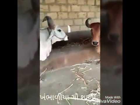 Bal krishna Gaushala, khambhaliya, ta. Bhesan, dist. Junagadh-362030