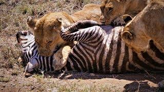 Video Serengeti: Pride of lions hunting and killing zebras (4 K/UHD) MP3, 3GP, MP4, WEBM, AVI, FLV Juni 2019