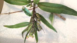 Monarch Caterpillar eating tropical milkweed leaves and flowers. Time-Lapse