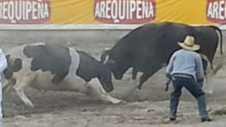 Video Cerro Negro vs. Alazán (21/12/13). Pelea de Toros en Socabaya (Arequipa) MP3, 3GP, MP4, WEBM, AVI, FLV November 2017