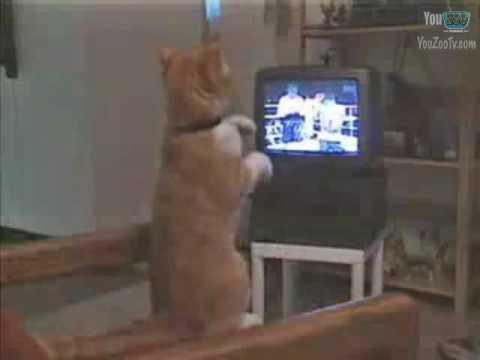 gatto pugile davanti alla tv