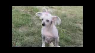 Taffy - Chinese Crested-Hairless (long coat) Dog For Adoption