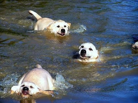 "Feeling stressed? Solved. You're welcome. ""Labrador Father Teaches Puppies To Swim ADORABLE!!"""