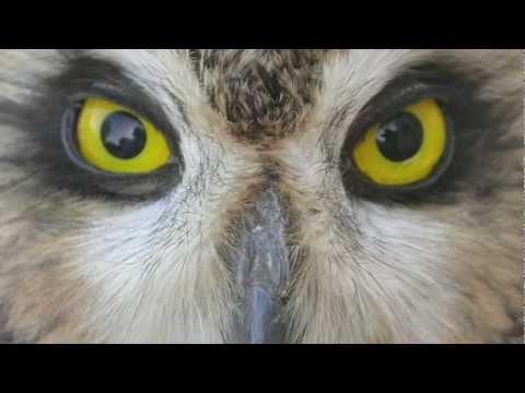 Short & Long-eared Owls