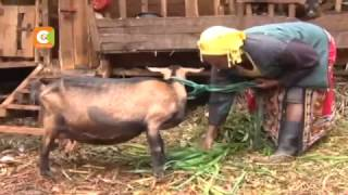 Nyeri Kenya  city photos : 'Miracle' of Nyeri goat that gives birth to 5 kids at a time