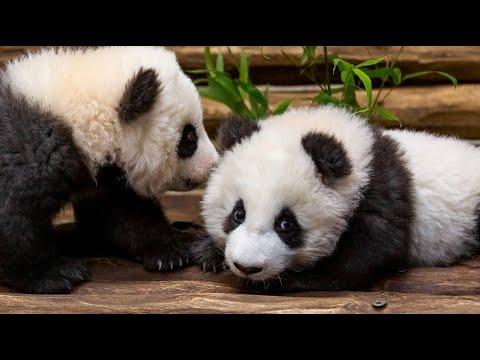Berlin: Panda-Zwillinge im Zoo auf Erkundungstour