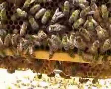 Beekeeping – Queen bee on frame